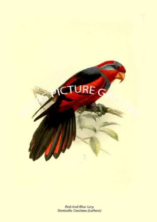 Red-And-Blue Lory - Domicella Coccinea (Latham)